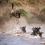 Great Migration: Wildebeest jumping into the Mara River, Tanzania. 1st. Place, Nature, Basic, 7/25/17